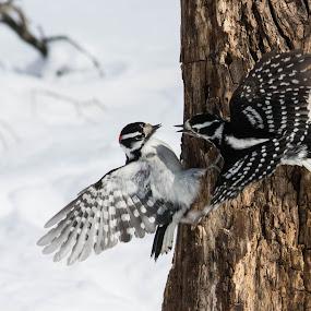 Bickering Downy's by Susan Hughes - Animals Birds ( downy woodpeckers )