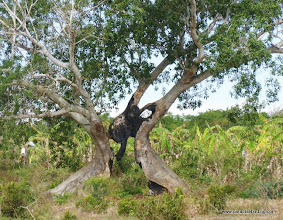 Photo: Check out the split base of this fig tree!