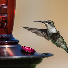 Ruby-throated Hummingbird by Angie Birmingham - Animals Birds ( bird shots, bird, hummingbird, backyard, bird photography,  )