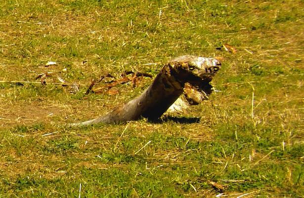 Anaconda con preda di Rodema