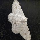 White Medasina