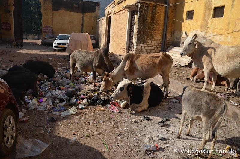 Vaches et déchets, bundi