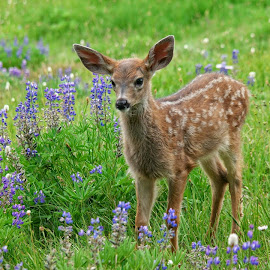 Spring Fawn by Anita Elder - Animals Other Mammals ( deer, olympic peninsula, lupine, fawn, meadow )