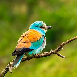 Roller by Stanley P. - Animals Birds