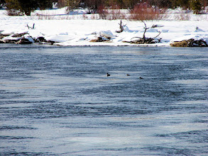 Photo: A bufflehead and two Barrow's goldeneyes on the Madison River near Yellowstone National Park
