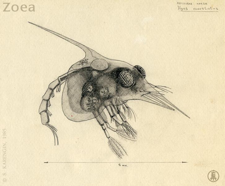 Белое море,ББС, краб, личинка краба, zoea, hyas coarctatus, краб-паук,