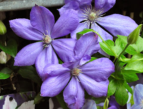 Photo: Clematis 'Mrs Cholmondeley'