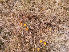 Photo: California poppies