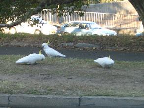 Photo: Oder sind das Coocaburras?