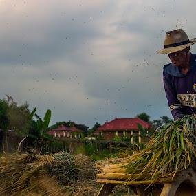 harvest by Yosep Atmaja - People Professional People ( rice, farmer, padi, traditional, java, harvest )