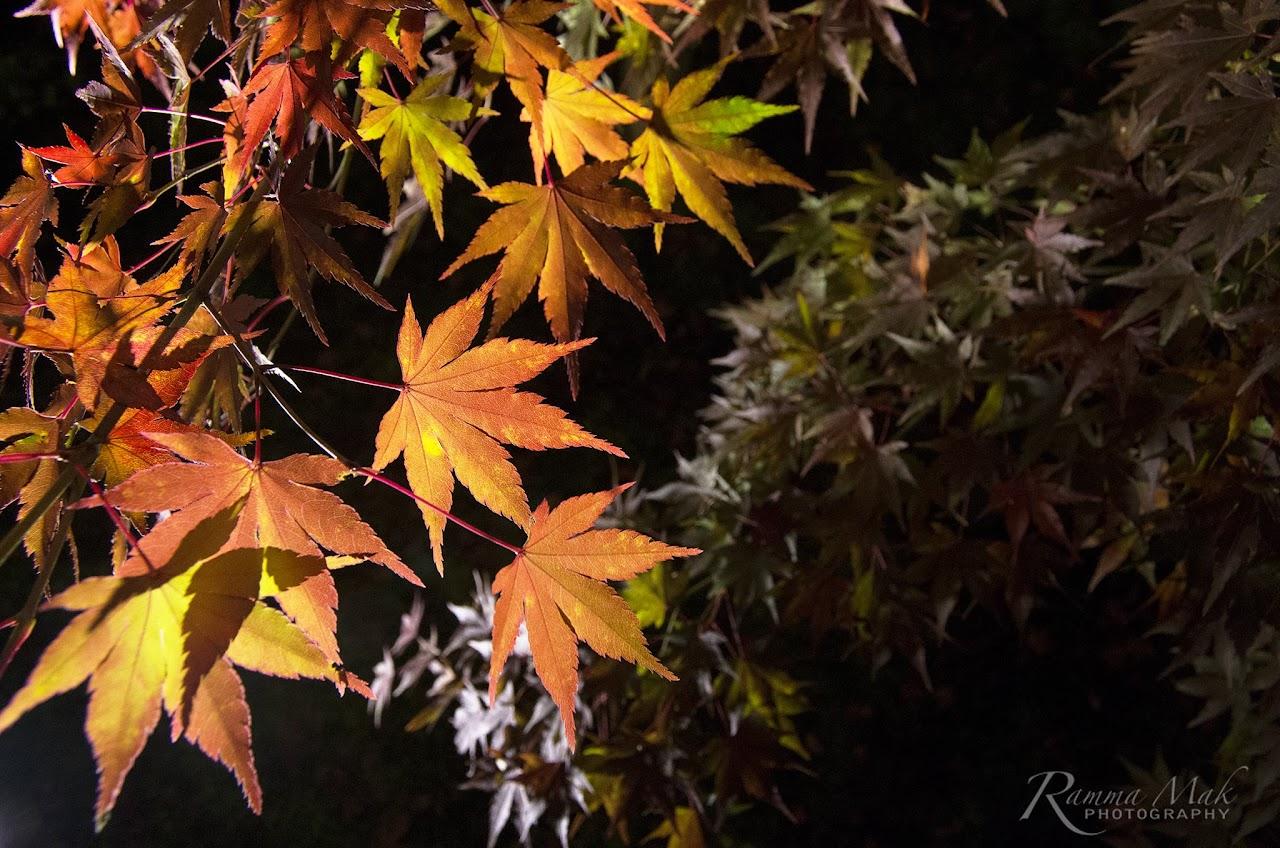 京都永觀堂(襌林寺)賞夜楓