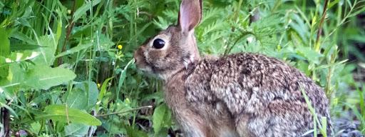 Eastern Cottontail Rabbit (Sylvilagus floridanus), , Technopark, Motreal, 2017/06/24