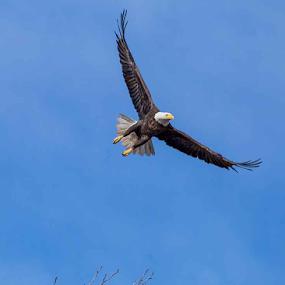 Gliding Eagle by Terri Schaffer - Animals Birds