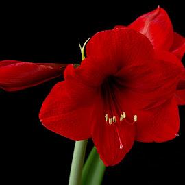 amarillys by Hale Yeşiloğlu - Flowers Flower Gardens ( red, nature, amaryllis, nature close up, flower )