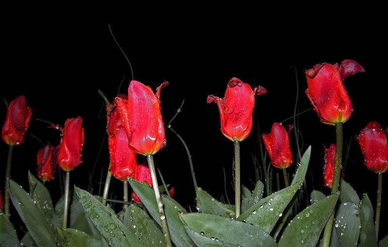 Tulipani by Night di monica_saba