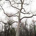 """Kullu (""""ghost tree"""")"""