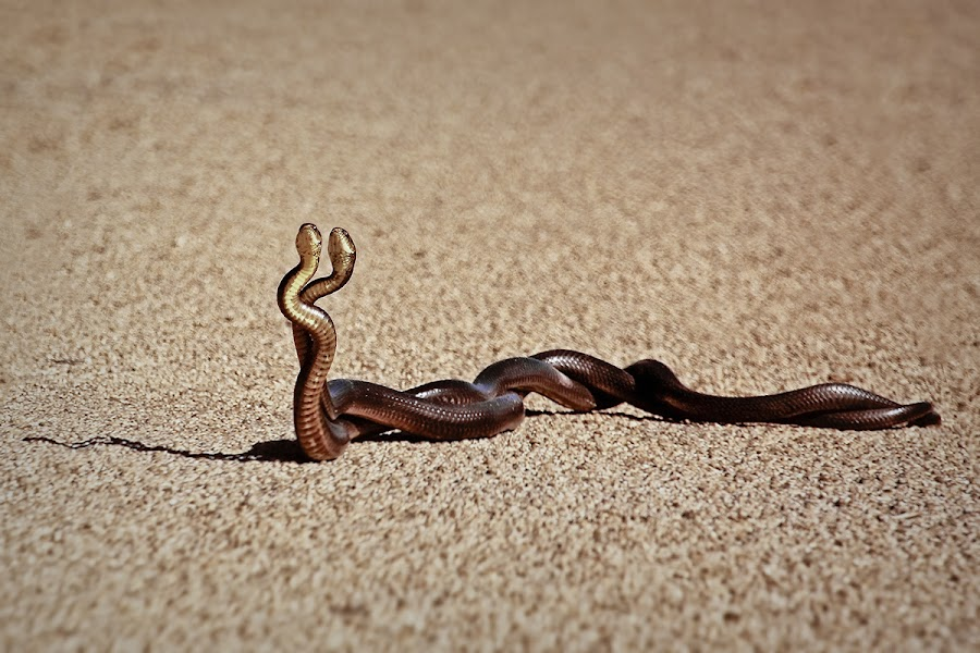 Paso Double by Matteo Prencipe - Animals Reptiles