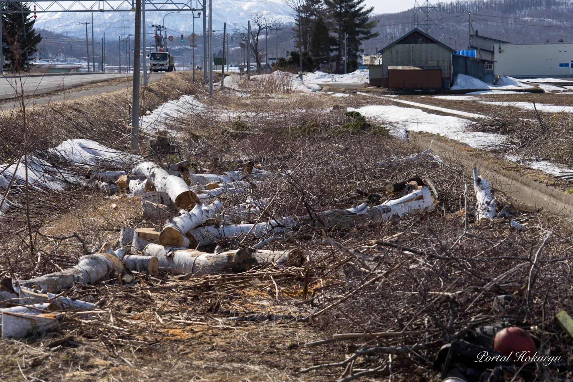 伐採された白樺