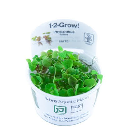 Phyllanthus Fluitans 1-2 grow Tropica