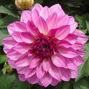 Dalia  by Gordana Cajner - Flowers Flower Gardens (  )