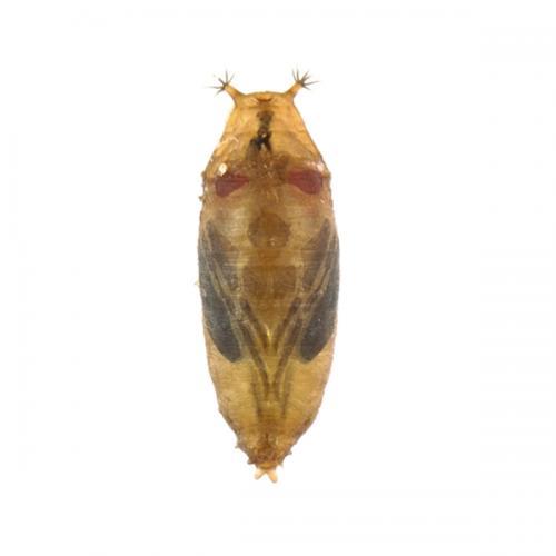 drosophila-suzukii-pupa-1090-418-en.jpg