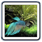 Betta Fish Live Wallpaper
