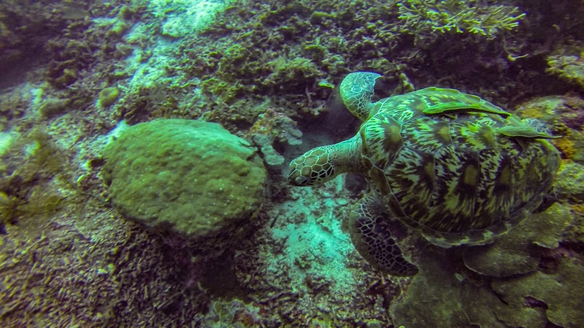 Top. Dive Sites, Kri Island, Raja Ampat, Papua. Green Turtle