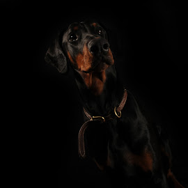 Tall, Dark and Handsome by Randi Grace Nilsberg - Animals - Dogs Portraits ( studio, modeling, beauty, friendly, space, beautiful, horizontal, model, pet, intense, collar, natural, vicious, profile, european, brown, puppy, gorgeous, background, animal, low key, dog, adorable, pincher, young, guard, begging, vertical, cute, eyes, head, low, mammal, alert, humour, dark, doberrmanpincher, copy, guardian, close, key, elegant, funny, close up, nature, purebred, black, canine, portrait, breed, pedigree, tilted, face, ears, watch, closed, doberman, dobermanpincher,  )