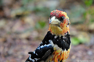 "Photo: I have family +Dick Whitlock ?  A Crested Barbet (Afrikaans: Kuifkophoutkapper), Marakele National Park, South Africa 1. #BirdPoker ""Woodpeckers "" +Bird Poker curated by +Phil Armishaw 2. #birdloversworldwide +BIRD LOVERS Worldwide curated by +Robert SKREINER 3. #hqspbirds +HQSP Birds curated by +Marina Versaci 4. #birdsinfocus #birdspecieslink +Birds in Focus curated by +Risto Talman 5. #Birds4All +Birds4All curated by +Walter Soestbergen 6. #SongbirdSaturday +SongbirdSaturday curated by +John Briggs 7. #10000photographersaroundtheworld +10000 PHOTOGRAPHERS around the World curated by +Robert SKREINER 8. #pixelworld +PixelWorld curated by +Alberto Carreras 9. #plusphotoextract curated by +Jarek Klimek 10. #nikonshooters"
