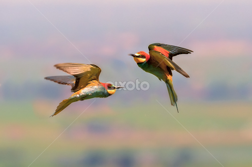 european bee eaters courting birds animals pixoto