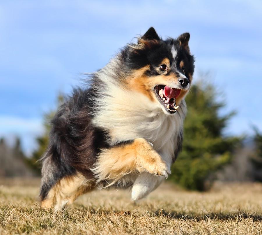 by Jane Bjerkli - Animals - Dogs Running
