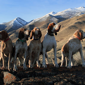 On The Hunt by Ralph MInnitte - Animals - Dogs Portraits