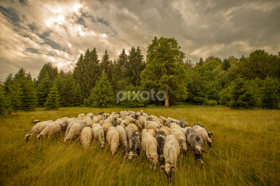 Sheep at the end of a summer day by Stanislav Horacek - Landscapes Prairies, Meadows & Fields