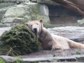 Photo: Knut unterzieht den Tannenbaum einem Kuscheltest ;-)