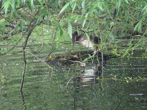 Photo: 2 Jul 13 Trench Pool: One of the Great Crested Grebes nest-building. Note how far back the legs are, making it hard for them to move around on land. (Ed Wilson)