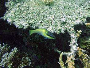 Photo: Scarus oviceps (Dark-capped Parrotfish), Naigani Island, Fiji