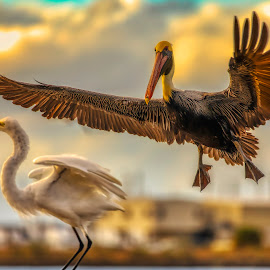 Comin in for a landing by Anthony Pollard - Animals Birds ( nature, pelican, wings spread, bird action, flyiing )