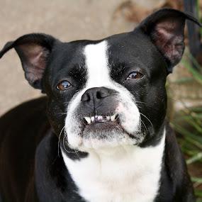Princess by Leslie Hendrickson - Animals - Dogs Portraits ( boxer dog, dog portrait, dog,  )