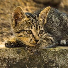 Kitten on Alert by Miko Adji - Animals - Cats Kittens ( kitten, 2015, indonesia, cikarang, miko,  )