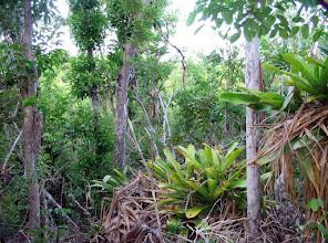 Photo: Ironwood Forest wetland from Dolostone limestone ridge.  Ironwood trees and Hohenbergia - a giant Bromeliad, both Cayman endemics, Sept. 11, 2005.