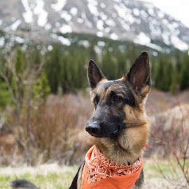 Atlas at Mosquito Pass in Colorado by Jennifer Cessna - Animals - Dogs Portraits