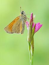 Photo: Thymelicus sylvestris, Hespérie de la houque ou Bande noire, Small Skipper http://lepidoptera-butterflies.blogspot.fr/