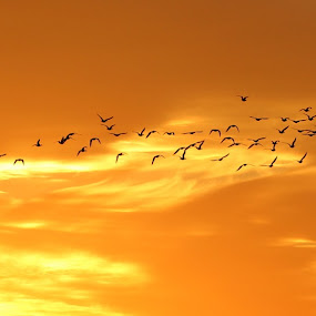 sunrise with snow geese by Chris Clay - Landscapes Sunsets & Sunrises ( omaha, snow geese, wehrspann lake, sunrise )