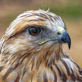 by John LeBlanc - Animals Birds ( hawk unknown, birds,  )