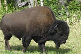 Photo: Buffalo'larımız.