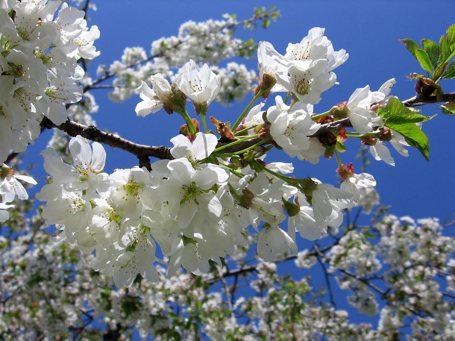 Cherry blossom by Igor Gruber - Nature Up Close Trees & Bushes ( sky, blossom )