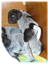 Photo: SPITZ Venaticus Major (7 weken oud) Cesky Fousek