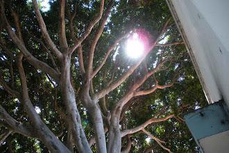 Photo: Ficus tree canopy Santa Barbara