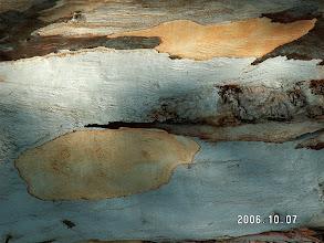 Photo: Tree bark.  Santa Barbara Califoria.