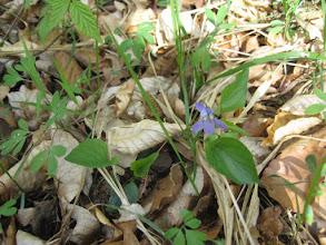 Photo: Fiołek wonny, fiołek pachnący (Viola odorata L.) – gatunek rośliny należący do rodziny fiołkowatych